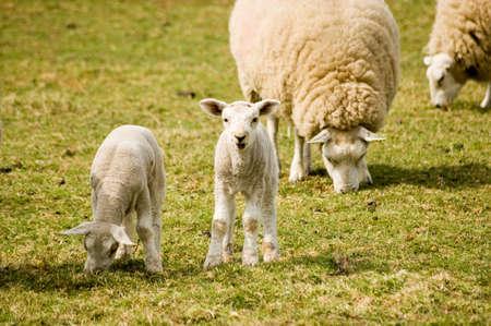quizzical: A las miradas curiosas de cordero en el visor como su gemelo y otras ovejas siguen pastando en un campo Foto de archivo