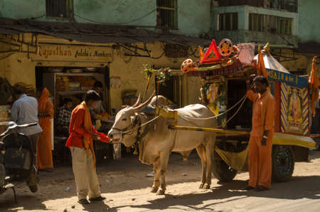 HYDERABAD, ANDHRA PRADESH lt; INDIA - JANUARY 12  A white bull is encouraged to pull a mobile Hindu temple through the city of Hyderabad on January 12 2013   White cattle are sacred to Hindus