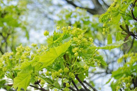 ash tree: Fiori verdi brillanti su un frassino in Hampshire durante la primavera nome latino Fraxinus