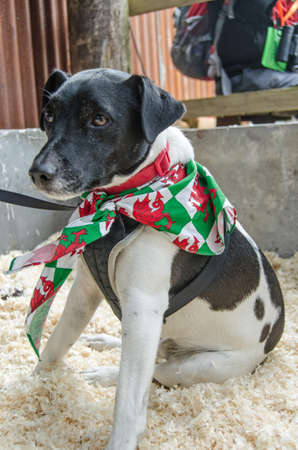 welsh flag: A cute Parson Russel Terrier dog sitting quietly on some sawdust displaying his Welsh flag neckerchief    Stock Photo
