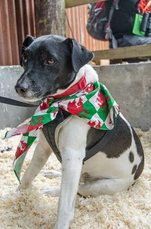 welsh flag: Un simpatico cane Parson Russel Terrier seduta tranquillamente su alcuni segatura mostrando il suo gallese bandiera fazzoletto Archivio Fotografico