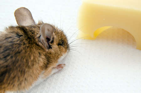 musculus: A brown house mouse, Latin name mus musculus heading for a piece of Emmental cheese