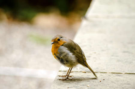 quizzical: A wild robin bird, latin name erithacus rubecula, looking quizzically at the camera. Stock Photo