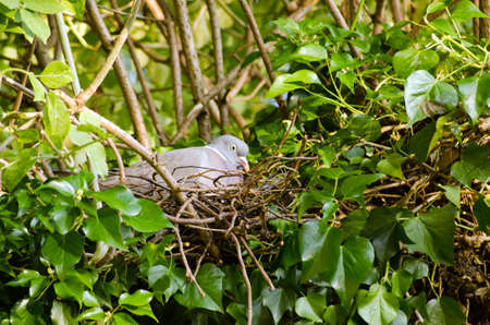 elder tree: A wood pigeon, latin name, Columba palumbus, incubating eggs in a nest made in an elder tree covered in ivy. Stock Photo