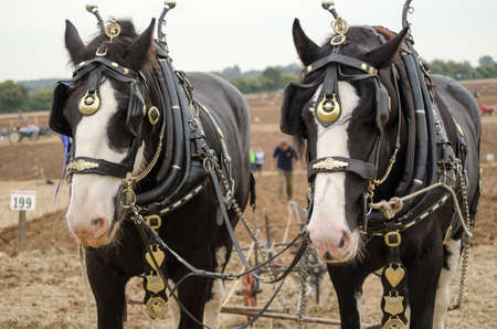 Shirehorses Ned and Daisy taking part in the British National Ploughing Championships, 2014.  The heavy horses were pulling a plough to make oat seed furrows.