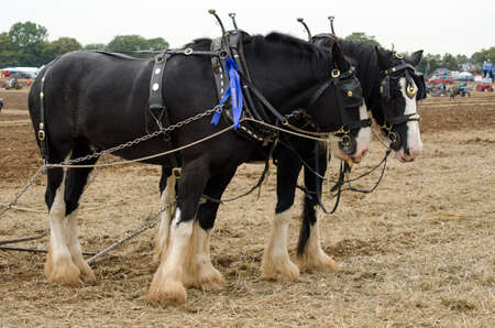 furrow: Shire horses Ned and Daisy pausing after ploughing an oat furrow at the British National Ploughing Championships, Basingstoke.