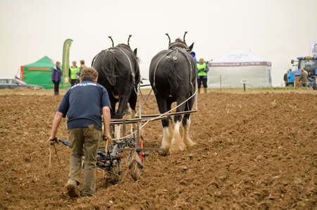 BASINGSTOKE, UK - OCTOBER 12, 2014:  Farmer John Fletcher directing a plough drawn by two shire horses during the British National Ploughing Championship, 2014.