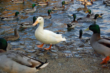A solitary white feathered duck standing on a frozen stream amid a flock of wild mallard ducks in the winter in Hampshire, England. Stock Photo