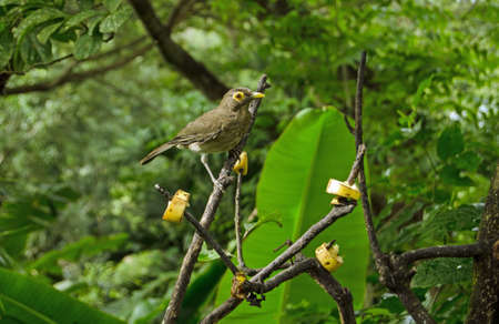 A spectacled thrush, latin name Turdus nudigenis, pauses to gaze at the camera while pecking at slices of banana left on branches. Tropical forest in Tobago, Trinidad and Tobago. Stock Photo