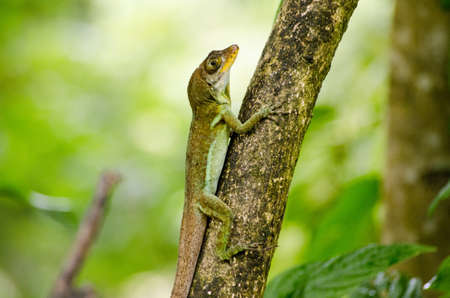 A large anolis lizard climbing up a tree trunk in the rainforest of Tobago, Trinidad and Tobago.