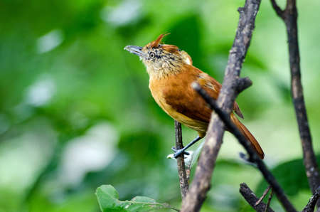 A copper coloured female barred antshrike bird, latin name Thamnophilus doliatus, perching on a small branch in the rainforest in Tobago, Trinidad and Tobago on a rainy morning in January.