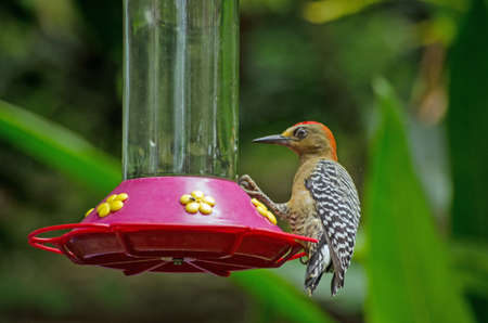 A red-crowned woodpecker, latin name Melanerpes rubricapillus, feeding from some nectar left in the rainforest of Tobago, Trinidad and Tobago. Stock Photo