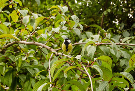 A friendly Great Tit, latin name Parus major, posing for a photograph in a shrub. Stock Photo
