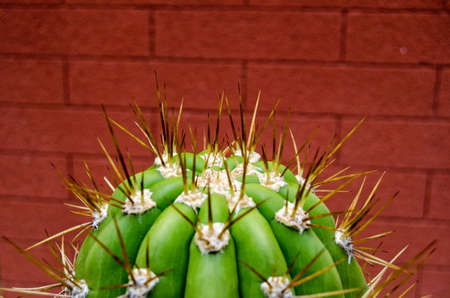 Sharp, long spines poking out from a Trichocerous Validus cactus. Foto de archivo
