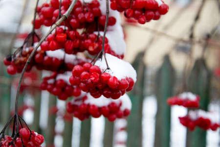 Red tassel guelder rose. Ukrainian symbol. Viburnum berries outdoor. Branch of viburnum Stock Photo