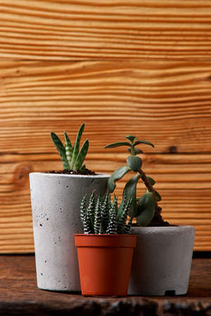 Succulents and crassulain in diy concrete pot. Only planted in pots. On wooden background. Stockfoto