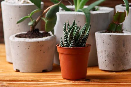 Close up of tiny succulents in DIY concrete pots in home