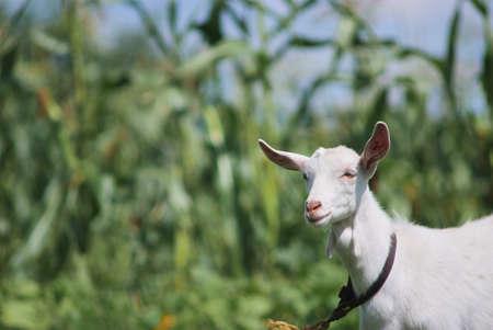 Portrait de chèvre adulte blanche enherbement sur champ vert prairie d'été à la campagne du village Banque d'images