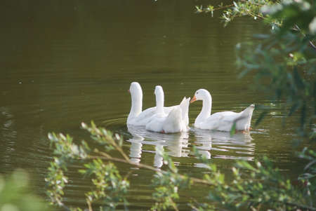 A flock of domestic white geese swims on the lake on a Sunny day.