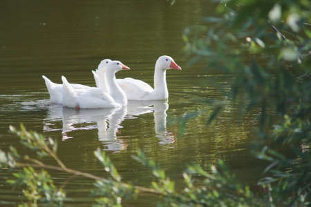 A flock of domestic white geese swims on the lake on a Sunny day. Imagens