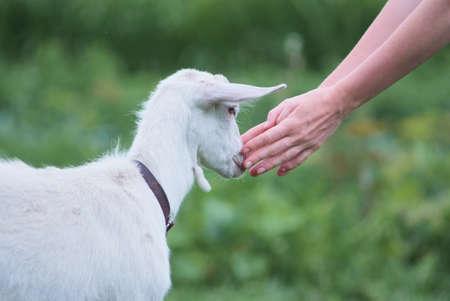 female hands stroking white goat on the nature. farming Imagens