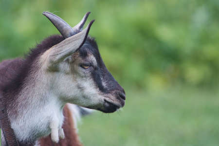 portrait of white adult goat grassing on green summer meadow field at village countryside Imagens