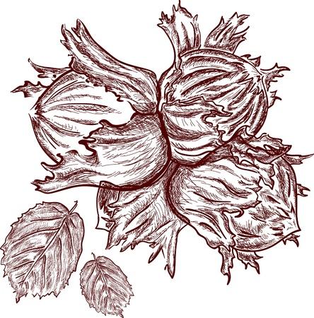 nutshell: retro hand drawn hazelnut in nutshell