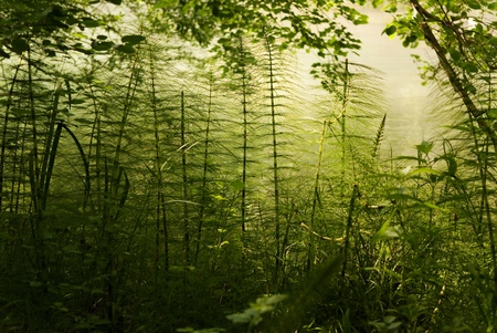 Bush of horsetail with the sunlight on the background Stock Photo - 9319180
