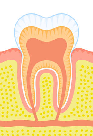 dental pulp: Internal structure of tooth