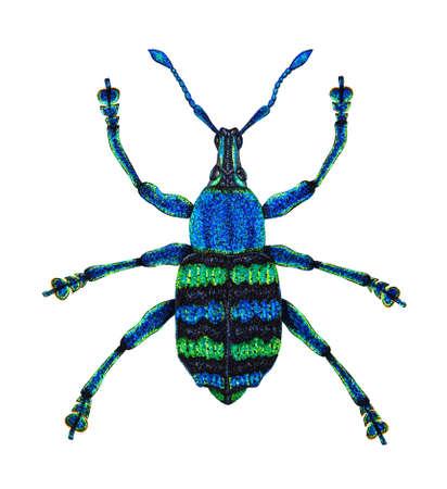 Nuova Guinea: Blu punteruolo Eupholus Magnifico � da Papua Nuova Guinea