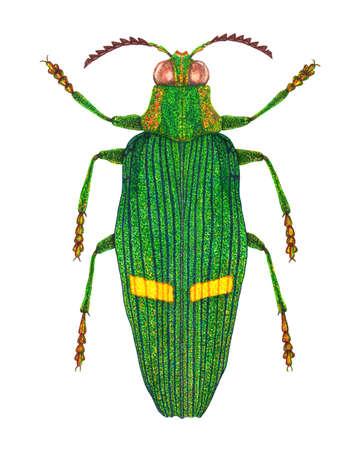 entomology: Opulent jewel beetle Stock Photo