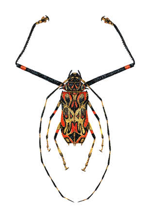 Harlequin Beetle photo