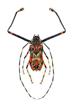 cerambycidae: Harlequin Beetle Stock Photo