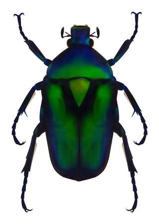 escarabajo: Chafer flor