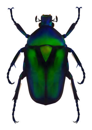Flower chafer Illustration