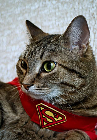 Magnitogorsk, Russia - December 13th 2014. A portrait of a grey cat in a cape with a logo of Superman. Photo taken on: December 13th 2014.