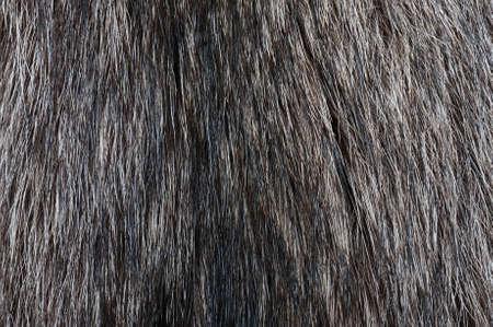 racoon: Racoon futerkowych tekstury Zdjęcie Seryjne