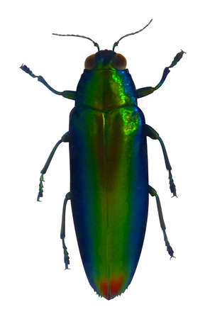 A vector illustration of an amazing jewel beetle.