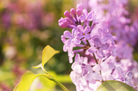 syringa: A photo of a lilac flowers with sunny effect.