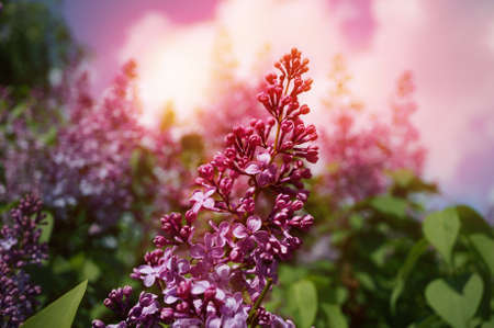 syringa: A toned photo of a lilac flowers with sunset or sunrise effect.