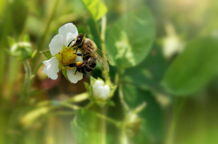 entomological: A sunny photo with a honey bee gathering pollen on a strawberry flower.