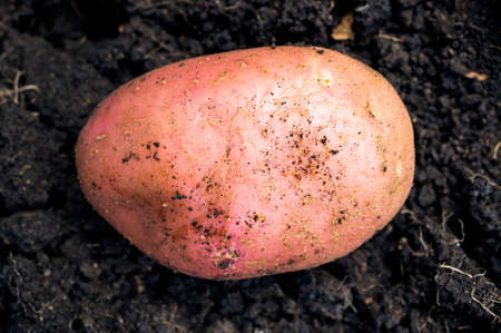 dirtied: A single potato is on the ground