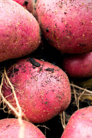 dirtied: A harvest of some fresh organic potatoes