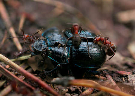 geotrupes: Dead beetle with ants