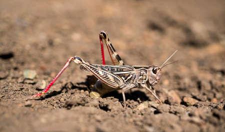 locust: A locust is ovipositing eggs into the soil. Stock Photo