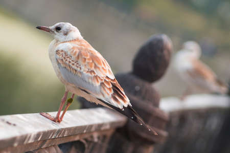 Beautiful light brown juvenile gull is sitting on a fence.