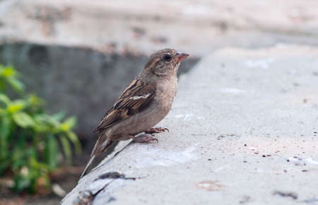 passer by: Brown sparrow (Passer domesticus)