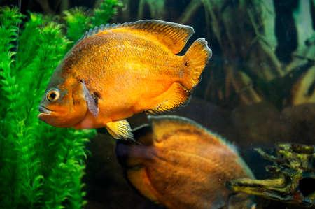 astronotus: Oscar fish in aquarium