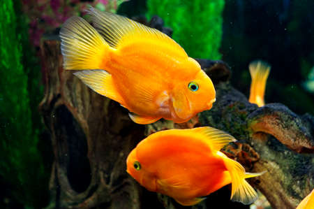 ichthyology: Parrot fishes in aquarium