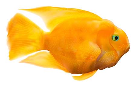 Parrot fish illustration